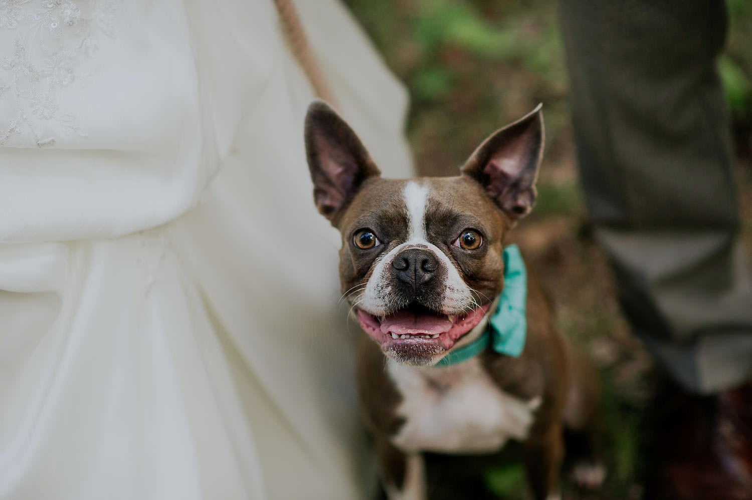 franklin the boston terrier
